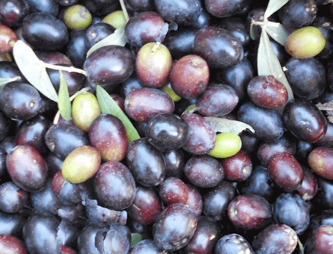 Selezione delle olive per la salamoia